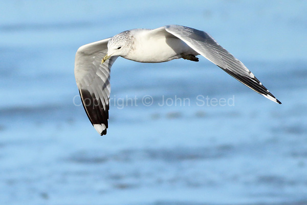 Herring Gull, Adult Winter